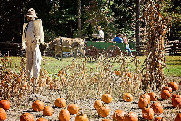 Enjoy an ox-drawn hayride at the pumpkin patch at Island Farm on Saturdays in October.