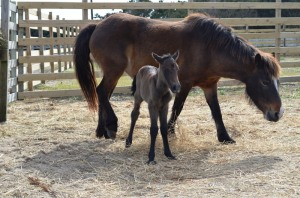 Hazelnut is the newest addition to the Ocracoke ponies.